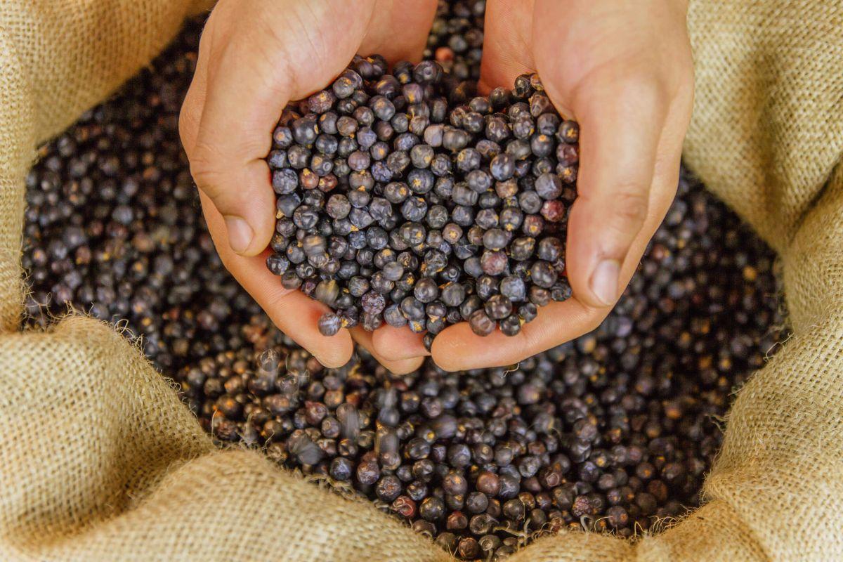 Wacholderbeeren sind die Basis bei der Herstellung von Gin
