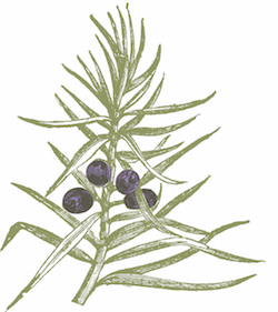 THE DUKE Botanicals Wacholderbeeren